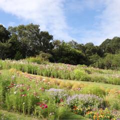 里山ガーデン/コスモス畑/花畑/風景/犬とお出かけ/おでかけ 里山ガーデンへ行ってきました♪ ここは春…