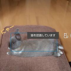 Instagramも見てね/しーとん/ネザーランドドワーフ/雨季ウキフォト投稿キャンペーン/フォロー大歓迎 猫と認識されやすい子(笑)