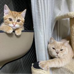 仔猫/にゃんこ/ねこ/マンチカン ママとパパとツーショット写真撮ったにゃ😸…(2枚目)