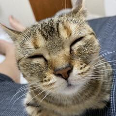 猫/マンチカン/にゃんこ/ねこ ちゅーして欲しいにゃ😸どんたん