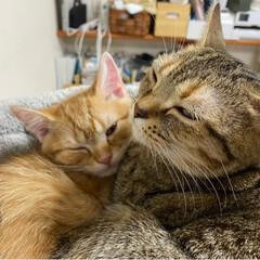 仔猫/にゃんこ/ねこ/マンチカン ママとパパとツーショット写真撮ったにゃ😸…
