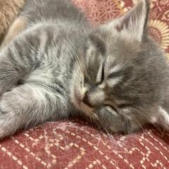 仔猫/ねこ/にゃんこ/マンチカン Mたんにゃ😸(3枚目)