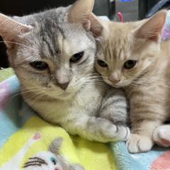 マンチカン/ねこ/にゃんこ/仔猫