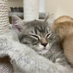 ねこ/仔猫/マンチカン/にゃんこ 仲良く寝ますにゃ😸 おやすみなさいにゃ😸…(3枚目)