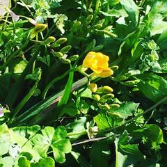 世話要らずのお花 玄関先のフリージアが咲き始めました。世話…