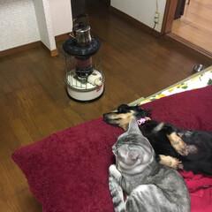 お昼寝 みんな仲良し。ストーブ前でお昼寝。