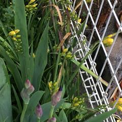 暮らし 雨のおかげ☔️雑草と共に菖もいい感じに蕾…(1枚目)