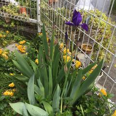 暮らし 今朝、菖も咲きました。(2枚目)