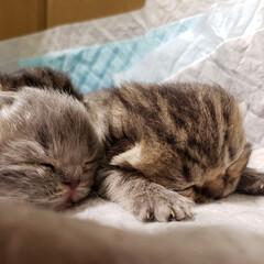 Instagramも見てね/癒し/ごめん寝/子猫/エキゾチック/タグニャンず/... 究極のごめん寝♡ 生後7日目♡