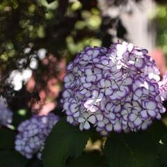 おでかけワンショット/イングリッシュガーデン/横浜/花/はじめてフォト投稿 アジサイが沢山咲いてました(1枚目)