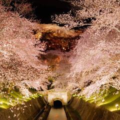 琵琶湖/滋賀/琵琶湖疏水/桜/夜桜/綺麗/... 滋賀県の大津、琵琶湖疏水 #わたしのお気…