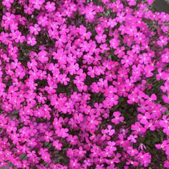 はじめてフォト投稿/フォロー大歓迎 春に庭に咲いた花(1枚目)