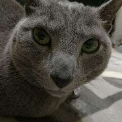 眉間に力をいれて、イケメンによせる!笑/ロシアンブルー/猫 よーく見ると、眉間をシワ?毛?を寄せてま…