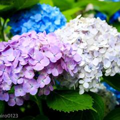 一眼レフのある暮らし/一眼レフ/カメラ好き/カメラ女子/梅雨の中休み/梅雨/... いろんな色の紫陽花