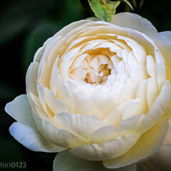 カメラ好き/カメラ女子/おでかけワンショット/みんなにおすすめ/お散歩/白い花/... ローズガーデン