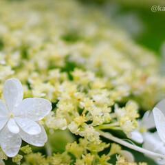 おでかけワンショット/一眼レフ/一眼レフカメラ/カメラ女子/カメラ好き/花がある風景/... 雨上がりの紫陽花  かなりアップで近くで…