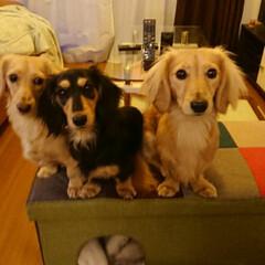 おうち自慢 うちの仲良しダックス三姉妹。