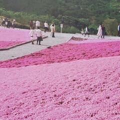 ピンク #芝桜 #ピンク