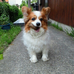 犬/愛犬/パピヨン/松ぼっくり/うちの子ベストショット 松ぼっくりが大好きで、お散歩に行くとつい…