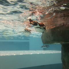 ペンギン/日本平動物園/動物園/水/はじめてフォト投稿/#はじめてフォト投稿 日本平動物園で撮影したペンギンたちが泳ぐ…