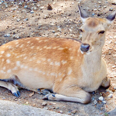鹿/奈良/日本/動物/旅行/令和元年フォト投稿キャンペーン 奈良で見つけた鹿。 何ともいえない表情を…