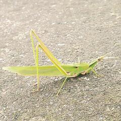 虫/昆虫/バッタ/令和元年フォト投稿キャンペーン/街中/ライフスタイル/... お散歩中、大きなバッタを発見!! #令和…