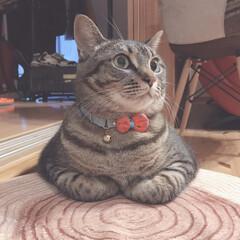 cutecat/cat/香箱座り/モフモフ/もふもふ/かわいい/... 早く原稿持ってきてにゃー😺✨❤️  な茶…