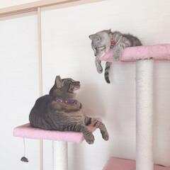 にゃんこ/サバトラ/キジトラ/かわいい/cats/cat/... みにゃ様ご無沙汰してますにゃん💦💦  茶…