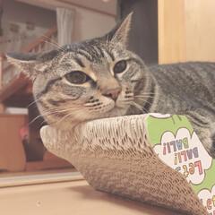 キジトラ女子部/かわいい/爪とぎ/まったり/にゃんこ/猫/... 茶衣晴空地方は 本日38℃らしいにゃ🌞💦…(1枚目)