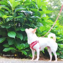 あじさい/紫陽花/散歩/散歩道/綺麗/梅雨/... いつもの散歩道に あじさいが咲いてたね❤…