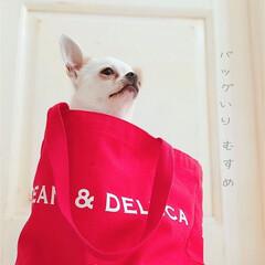 うちの子ベストショット/愛犬/犬/イヌ/チワワ/スムースチワワ/... 箱入りむすめ ならぬ、 バッグ入りむすめ…(1枚目)