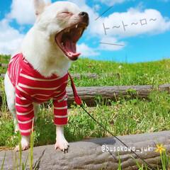 おでかけワンショット/チワワ/梅雨/公園/犬/イヌ/... 近所の公園に𓈓  白くて 赤い洋服を…(1枚目)