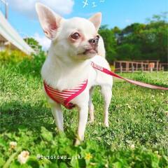 ヤギ?/おふざけ/チワワ/スムースチワワ/いぬ/イヌ/... 近所の公園に  小さなヤギがいました❢笑…