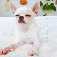 瞑想/犬/イヌ/スムースチワワ/チワワ/カメラ/... ただ今、 片岡鶴太郎 並に  瞑想中! …