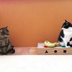 猫/フォトジェニック/バナナ/キジトラ/マスク猫/保護猫/... 流行りのバナナフォト🍌