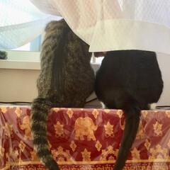 保護猫/元野良猫/キジトラ/しっぽ/お友達/ニャルソック/... 2人で外を眺める姿。
