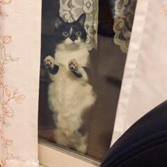 アピール/可愛い/室内/たっち/開けて/元野良猫/... 開けてよ〜開けて〜 たっちして開けてをア…