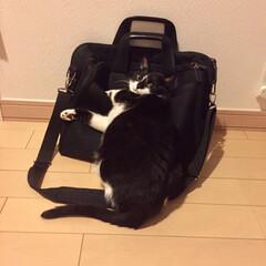 スリスリ/ペロリ/悪趣味/趣味/保護猫/元野良猫/... パパ👨の鞄にスリスリ〜ペロリ 変な趣味を…