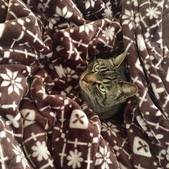 cat/猫/毛布/同化/元野良猫/キジトラ/... 本当に踏みそうになるから〜😱