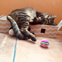 ミュー (mju:) 猫用おもちゃ ニャンコロビー ボックス ナチュラル(爪とぎ)を使ったクチコミ「どこでも寝る子❤️」
