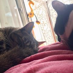元野良猫/保護猫/仲良し/お昼寝/キジトラ/ちい子/... 仲良くお昼寝💕