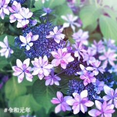 紫陽花/令和元年フォト投稿キャンペーン/#はじめてフォト投稿 散歩コースに咲いていたアジサイです。