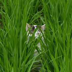 うちの子ベストショット このまま稲が実るまで、案山子を努めます。