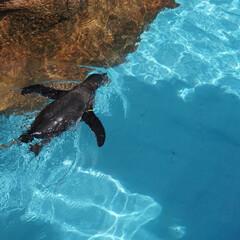 ぺんぎん/水族館/動物園/ミラーレス一眼/カメラ女子/お散歩/... 動物園に行った際に撮った1枚です。沢山泳…