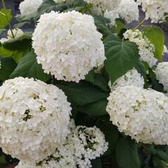 自然/お花/おでかけワンショット/雨季ウキフォト投稿キャンペーン/令和の一枚/はじめてフォト投稿/... 近所に咲いてたので😌