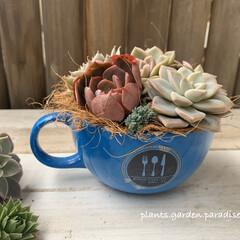 寄せ植え/コーヒーカップ/plantsgardenparadise/プランツガーデンパラダイス/パラグアイエンセ/センペルビウム/... ⚜️ ブルーのコーヒーカップに 多肉植物…