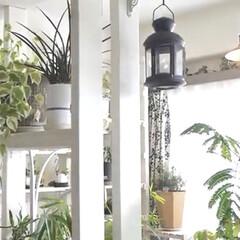 観葉植物のある暮らし/観葉植物/YouTubeチャンネルあります/ペペロミア/インドアグリーン/インテリアグリーン/... インナーテラスの様子 ペペロミアが育てや…