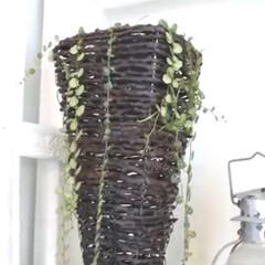 観葉植物のある暮らし/観葉植物/YouTubeチャンネルあります/ペペロミア/インドアグリーン/インテリアグリーン/... インナーテラスの様子 ペペロミアが育てや…(4枚目)