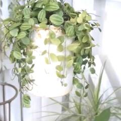 観葉植物のある暮らし/観葉植物/YouTubeチャンネルあります/ペペロミア/インドアグリーン/インテリアグリーン/... インナーテラスの様子 ペペロミアが育てや…(6枚目)