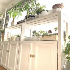 インドアグリーンのある暮らし/インドアグリーン/インテリアグリーン/plantsgardenparadise/プランツガーデンパラダイス/DIY/... 夫がインナーテラスの窓際に植物棚を作って…(2枚目)